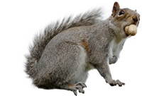 Green Care Grey Squirrels
